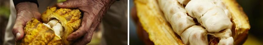 Fruto del cacao al natural